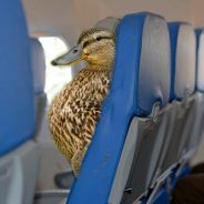Ducks On a Plane!