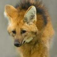 Species Profile: Maned Wolf