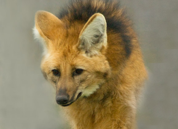 Maned Wolf