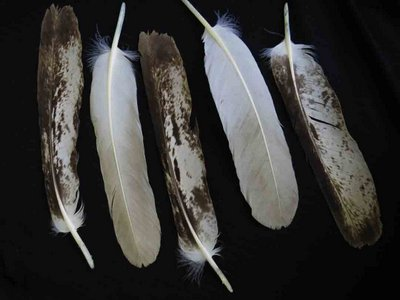 Bald Eagle feather feathers bird (2)