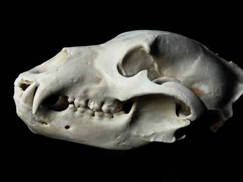 Brown Bear - Grizzly skull teeth tooth