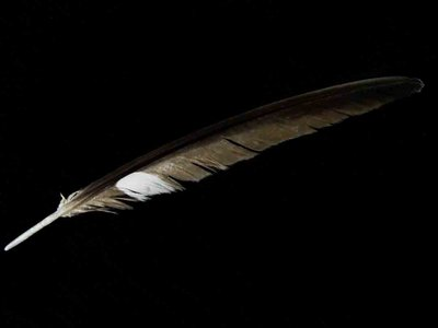 Common Nighthawk feather feathers bird