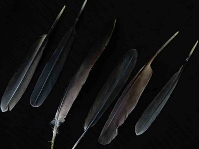 Double Crested Cormorant feather feathers bird