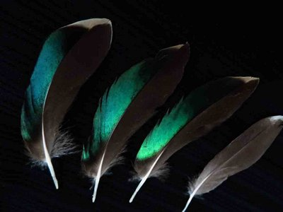 Green Wing Teal feather feathers bird