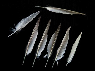 Least Tern feather feathers bird