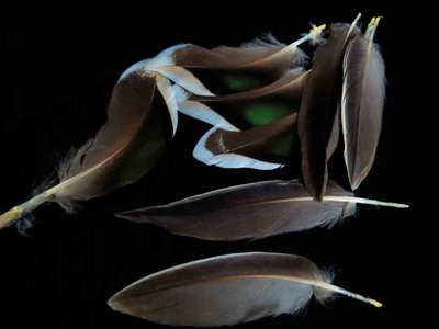 Northern Pintail feather feathers bird