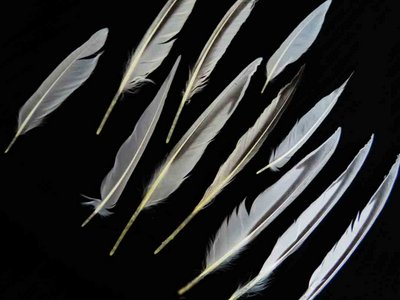 Sandwich Tern feather feathers bird