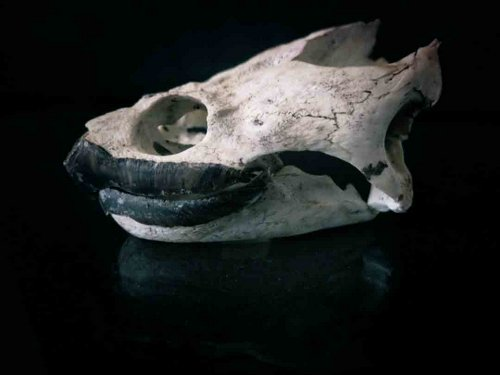 Common Snapping Turtle skull