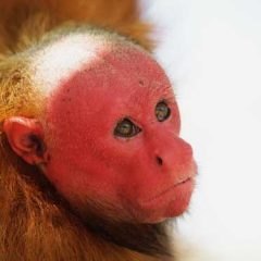 Species Profile: Bald Uakari