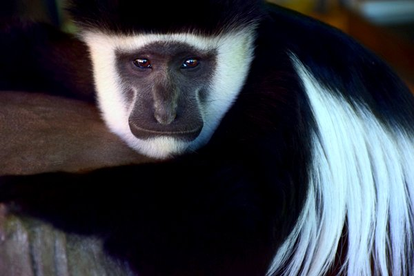 colobus monkey kenya africa poaching