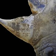 Ivory on Fire: Kenya Burns Confiscated Illegal Animal Products