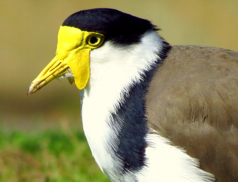 guide to birds of Tasmania Australia masked lapwing