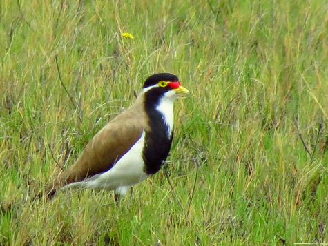 guide to birds of Tasmania Australia banded lapwing