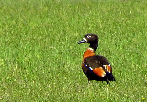 guide to birds of Tasmania Australia shelduck
