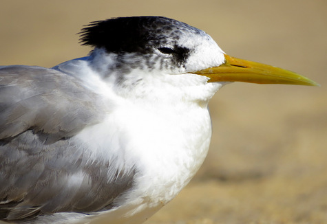 guide to birds of Tasmania Australia great crested tern