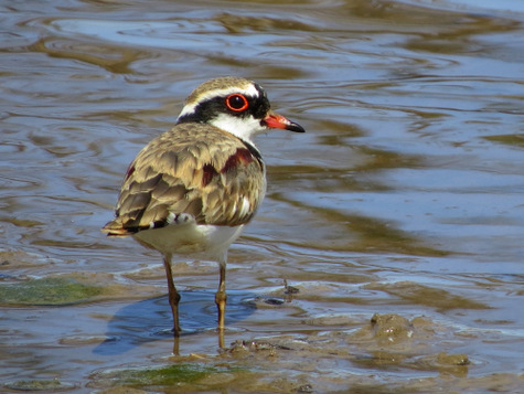 guide to birds of Tasmania Australia black fronted dotterel