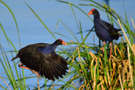 guide to birds of Tasmania Australia Australasian swamphen