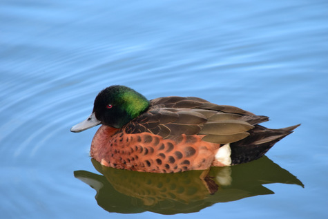 guide to birds of Tasmania Australia chestnut teal