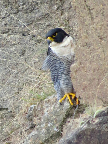 guide to birds of Tasmania Australia peregrine falcon