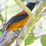 Species Profile: Hooded Pitohui