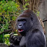 Gorilla Escapes Enclosure at London Zoo