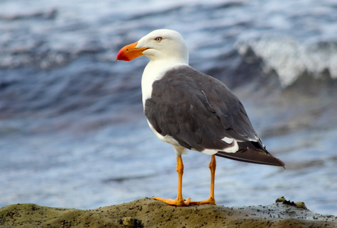 guide to birds of tasmania Australia Pacific gull