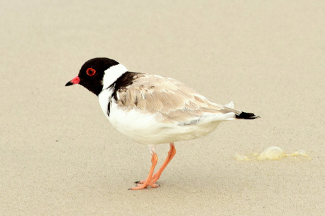 guide to birds of tasmania Australia hooded plover