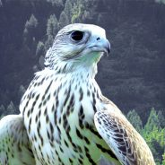 Gyrfalcon: The Bird of Kings