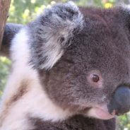 Best Places to See Koalas in Australia