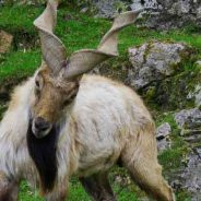 Species Profile: Markhor