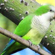 Searching for Parrots in…Europe?