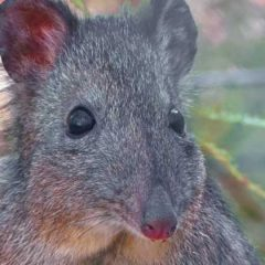Species Profile: Long-Nosed Potoroo