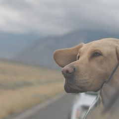 5 Factors to Consider Before Traveling With Your Dog