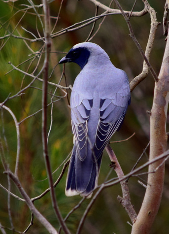guide to birds of tasmania Australia black faced cuckooshrike