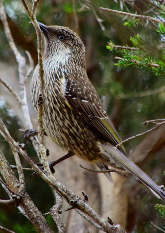 guide to birds of tasmania Australia wattlebird