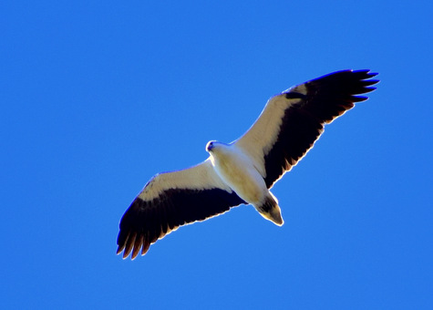 guide to birds of tasmania Australia white bellied sea eagle adult