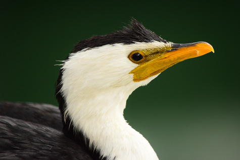 guide to birds of Tasmania Australia little pied cormorant