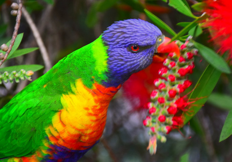 guide to birds of tasmania Australia rainbow lorikeet
