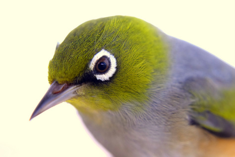 guide to birds of Tasmania Australia silvereye