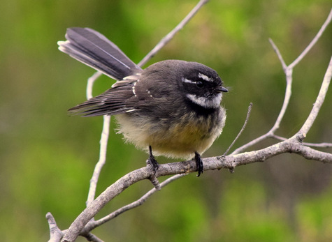 guide to birds of Tasmania Australia grey fantail