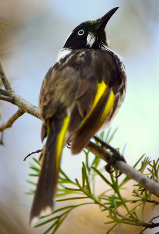 guide to birds of Tasmania Australia new holland honeyeater