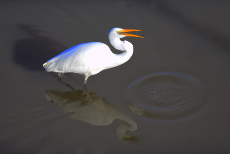 guide to birds of Tasmania Australia great egret