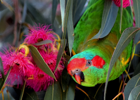 guide to birds of Tasmania Australia musk lorikeet