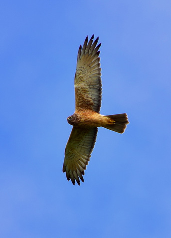 guide to birds of tasmania Australia swamp harrier
