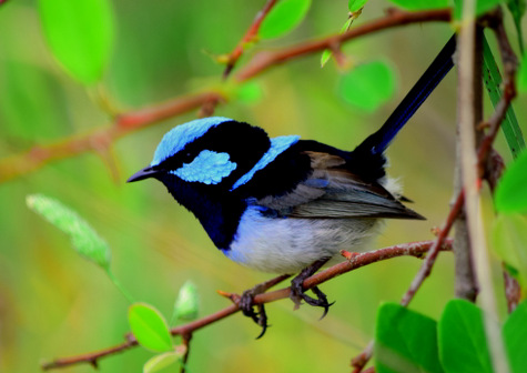 guide to birds of Tasmania Australia superb fairywren