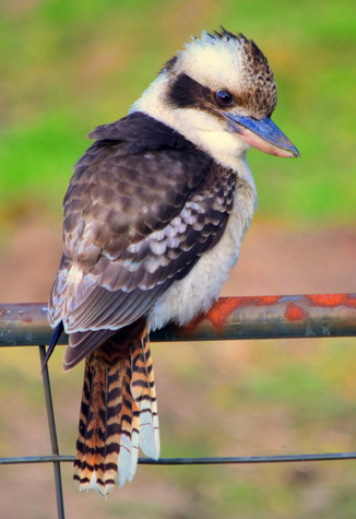 guide to birds of Tasmania Australia laughing kookaburra