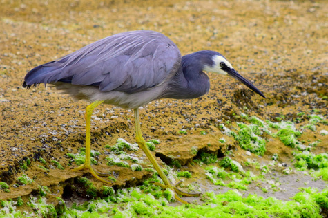 guide to birds of Tasmania Australia wite faced heron