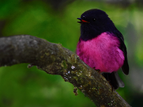 guide to birds of Tasmania Australia pink robin