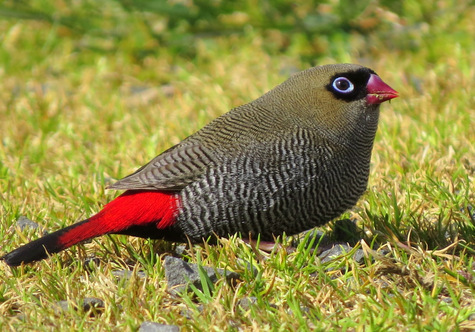 guide to birds of Tasmania Australia beautiful firetail
