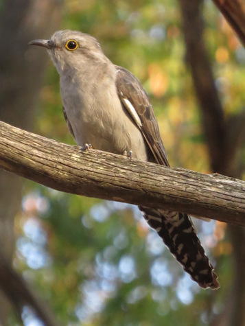 guide to birds of Tasmania Australia pallid cuckoo